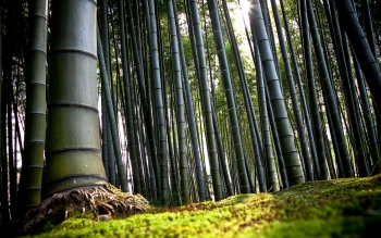 Tierra - Bamboo Wallpapers and Backgrounds ID : 523331