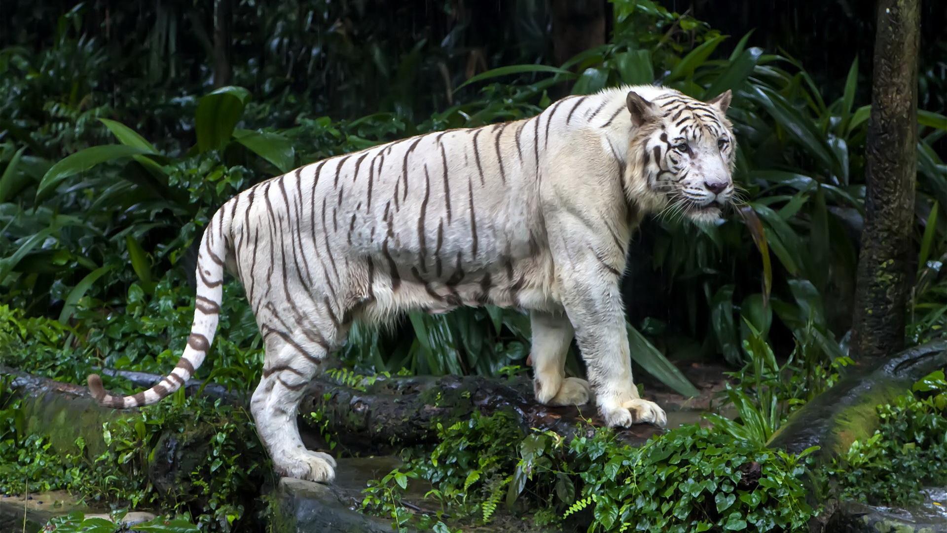 White Tiger Wallpaper 1080p Tigre Blanc Full HD Fo...