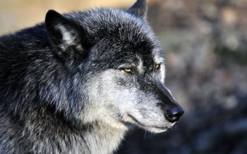 Animal - Wolf Wallpapers and Backgrounds ID : 524452