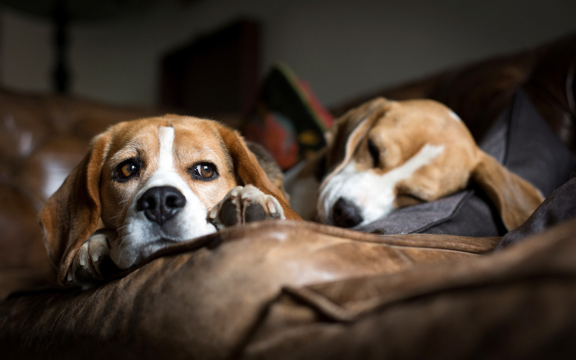 Dogs And Puppies Wallpaper Beagle Full HD Papel d...