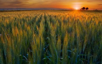 Terra - Wheat Wallpapers and Backgrounds ID : 527030