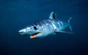 Animal - Mako Shark Wallpapers and Backgrounds ID : 530133