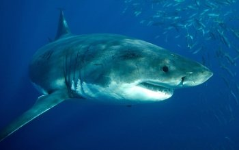 Animal - Great White Shark Wallpapers and Backgrounds ID : 530164