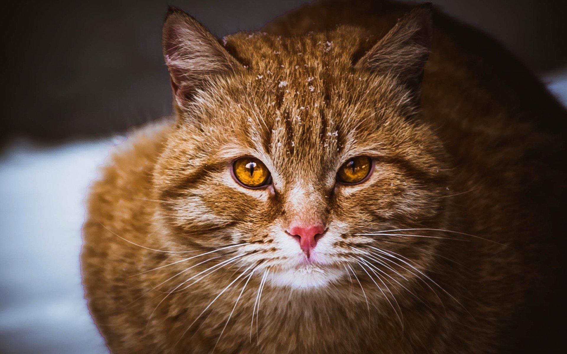 Картинки по запросу domestic short-haired cat