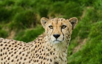 Djur - Cheetah Wallpapers and Backgrounds ID : 534577