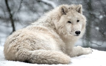 Tiere - Wolf Wallpapers and Backgrounds ID : 534900