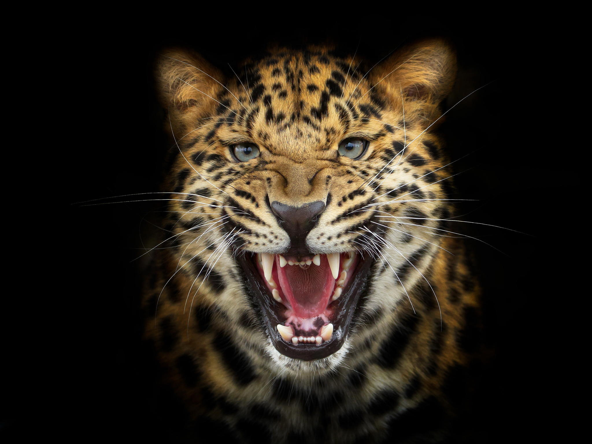 Leopard roar wallpaper
