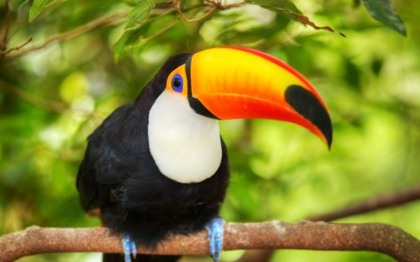 Animal Toco toucan Birds Toucans Toucan Beak HD Wallpaper   Background Image