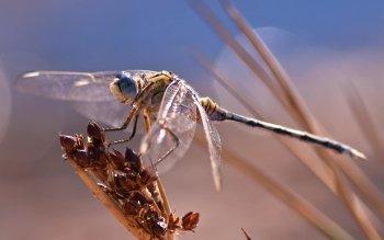 Sfondi cellulare libellule