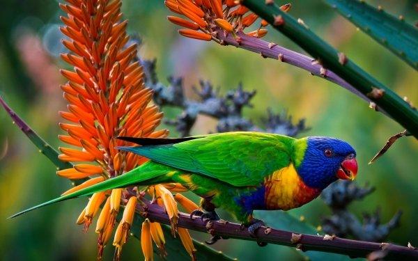 Animales Rainbow Lorikeet Aves Loros Loro Colores Jungla Fondo de pantalla HD | Fondo de Escritorio