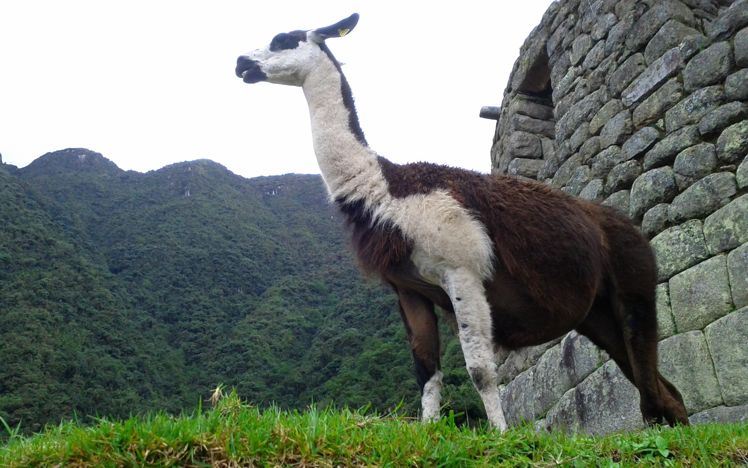 Alpaca Full HD Fondo De Pantalla And Fondo De Escritorio