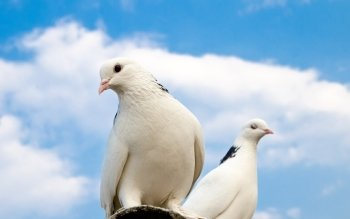 4 White Dove HD Wallpapers Backgrounds Wallpaper Abyss