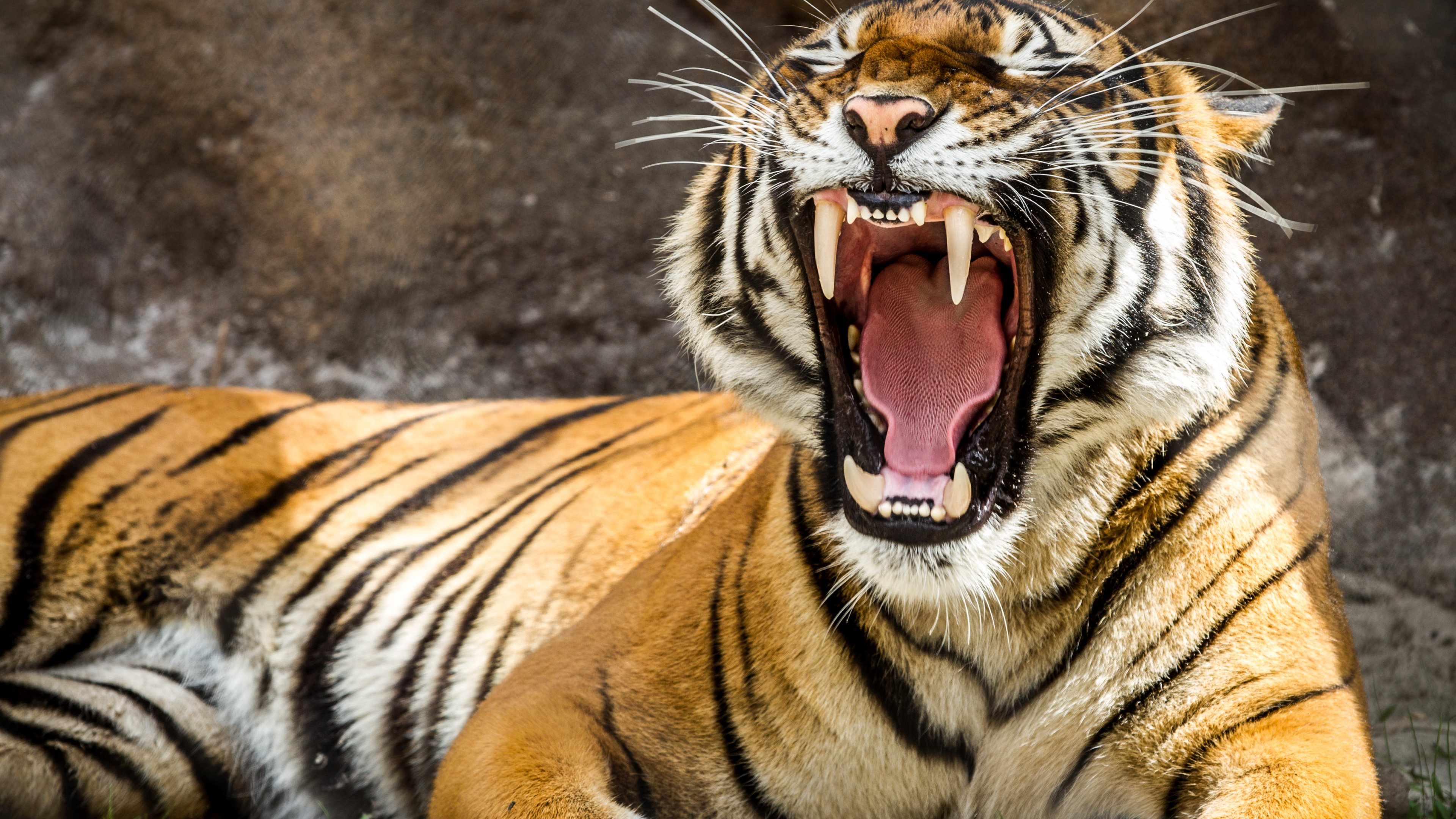 Tiger 4k ultra hd wallpaper background image 3840x2160 id 549216 wallpaper abyss - Tiger hd wallpaper for pc ...