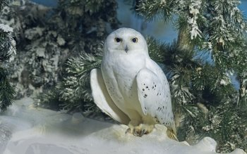 21 Snowy Owl HD Wallpapers