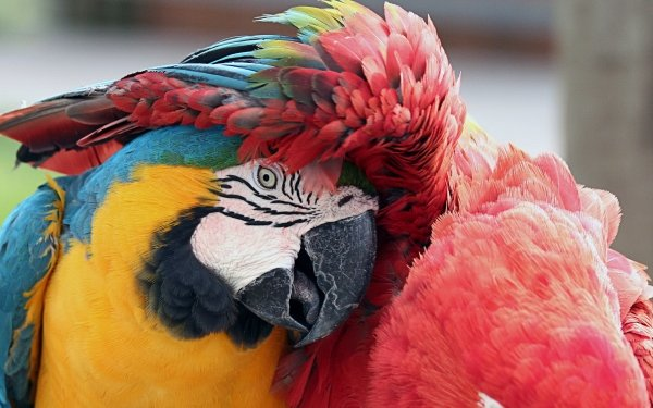 Animal Macaw Birds Parrots Bird Parrot Blue-And-Yellow Macaw red-and-green Macaw HD Wallpaper   Background Image