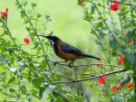Preview Eastern Spinebill