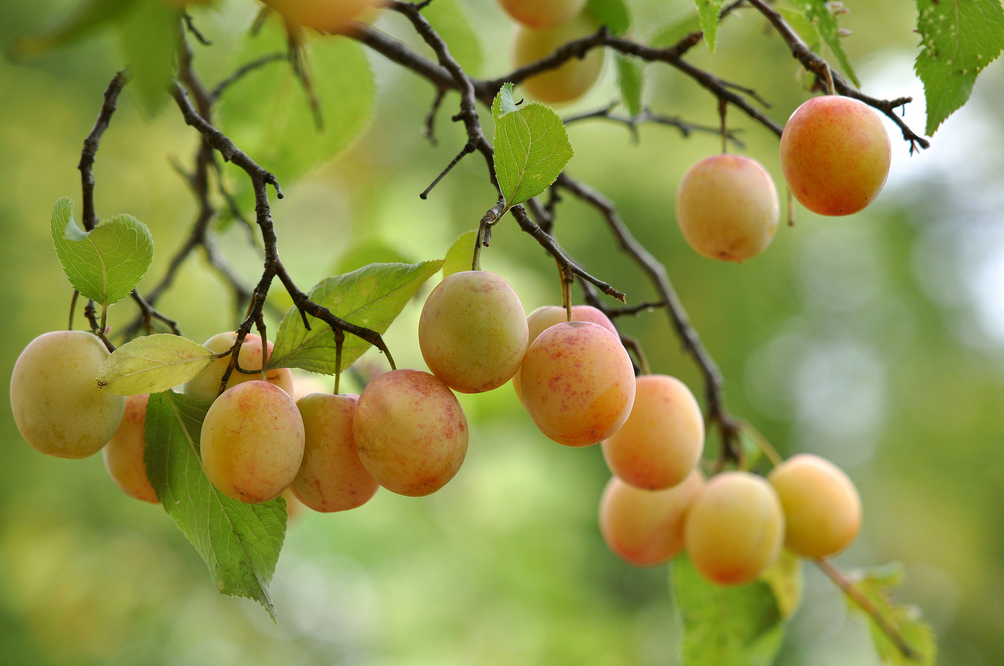 Apricot Full HD Wallpaper and Background | 2048x1360 | ID ...