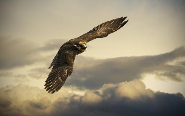 Animal Golden Eagle Birds Eagles Bird Eagle Flight Cloud HD Wallpaper | Background Image
