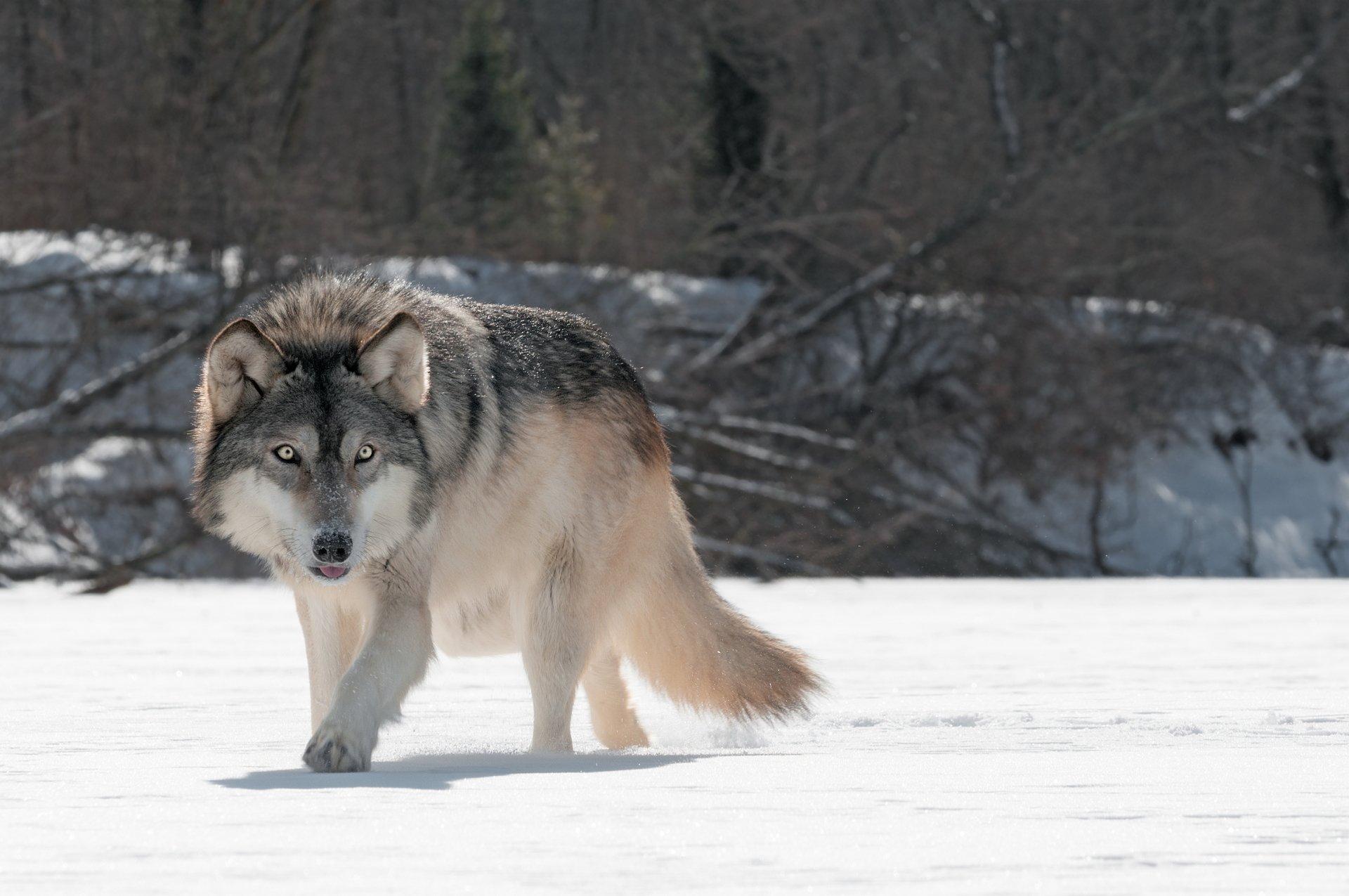 Grey Wolf 5k Retina Ultra HD Wallpaper and Background ...