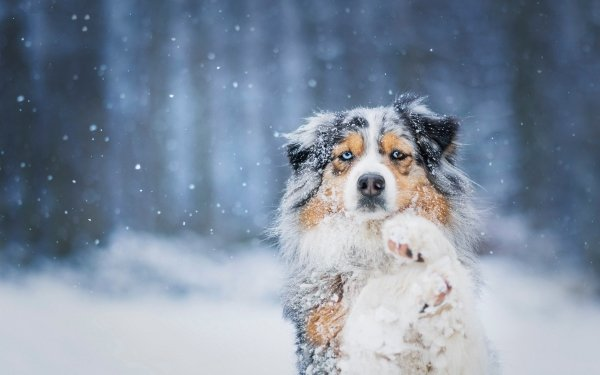 Animal Dog Dogs Australian Shepherd Snow HD Wallpaper   Background Image