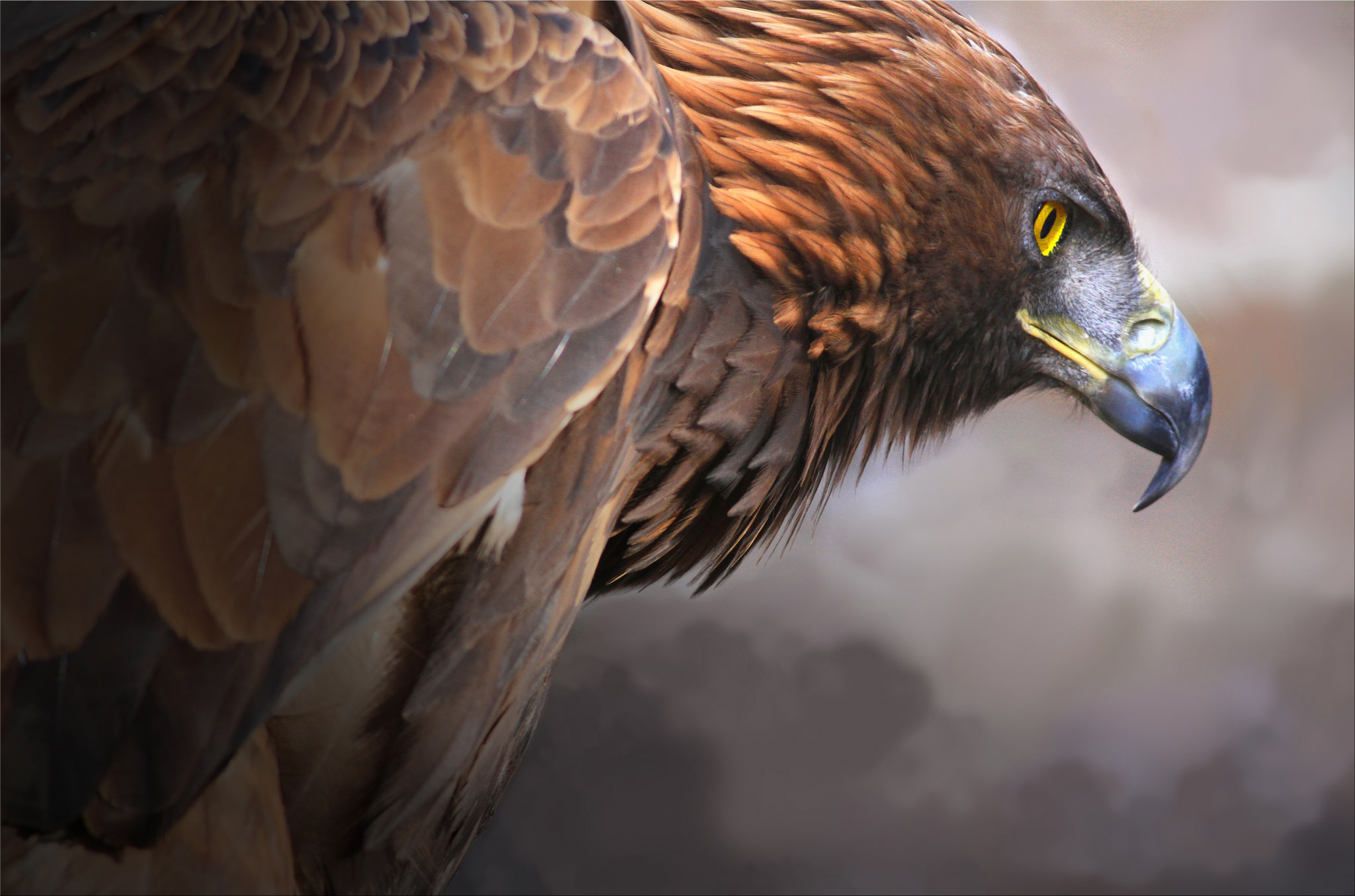 Eagle HD Wallpaper   Background Image   2048x1355   ID ...