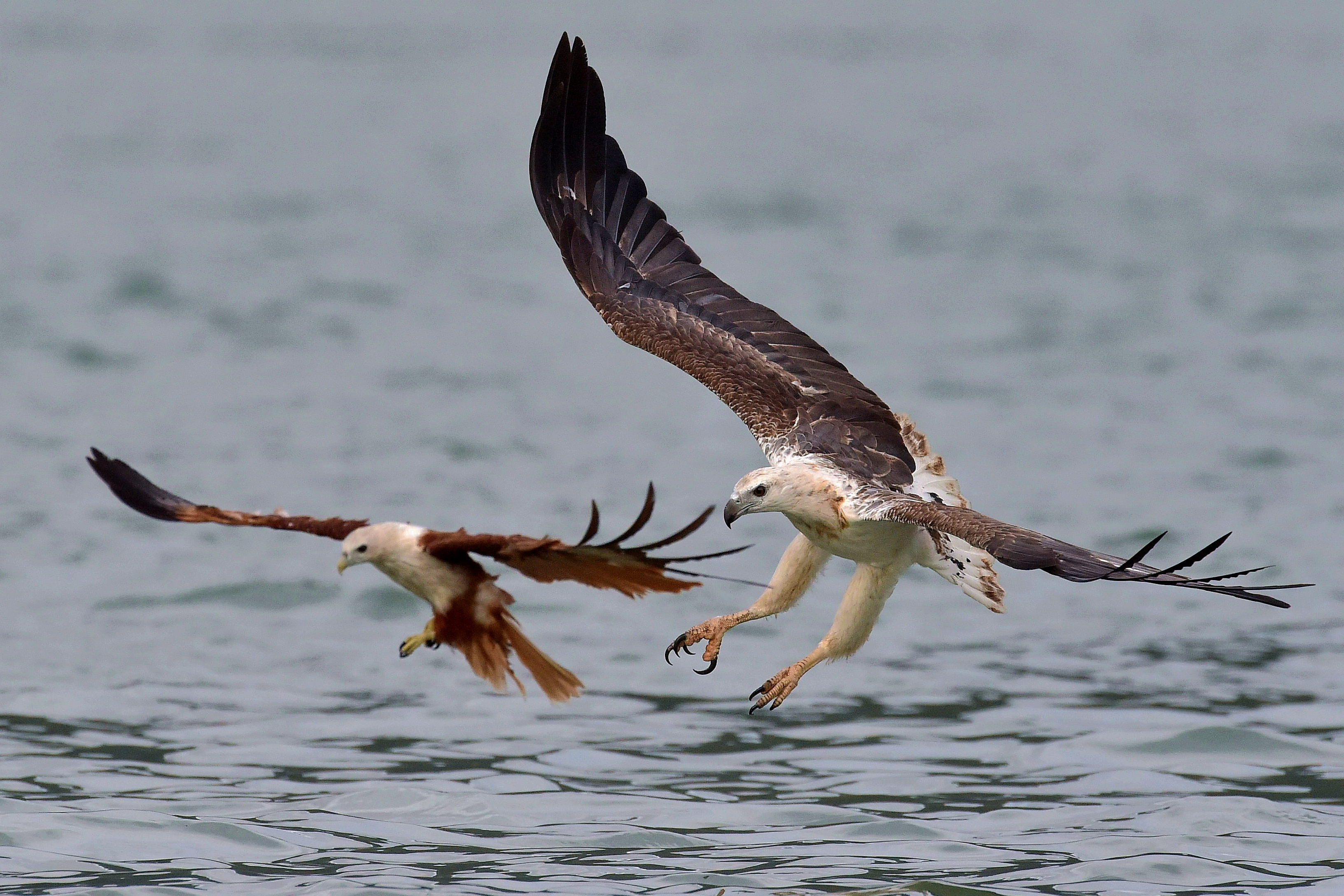 4 White Bellied Sea Eagle Hd Wallpapers Background Images Wallpaper Abyss