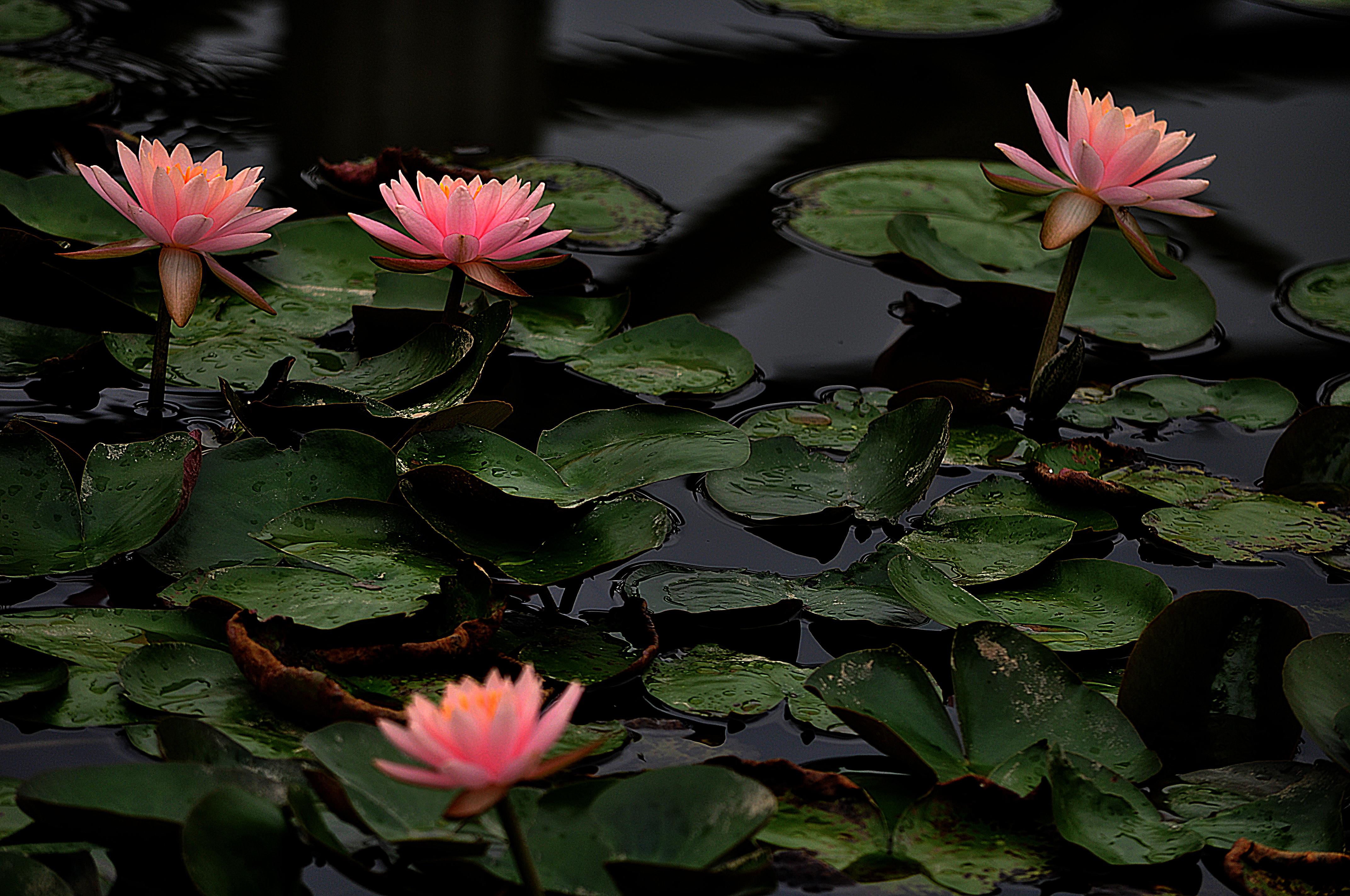 water lilies fonds d 39 cran arri res plan 4288x2848 id. Black Bedroom Furniture Sets. Home Design Ideas