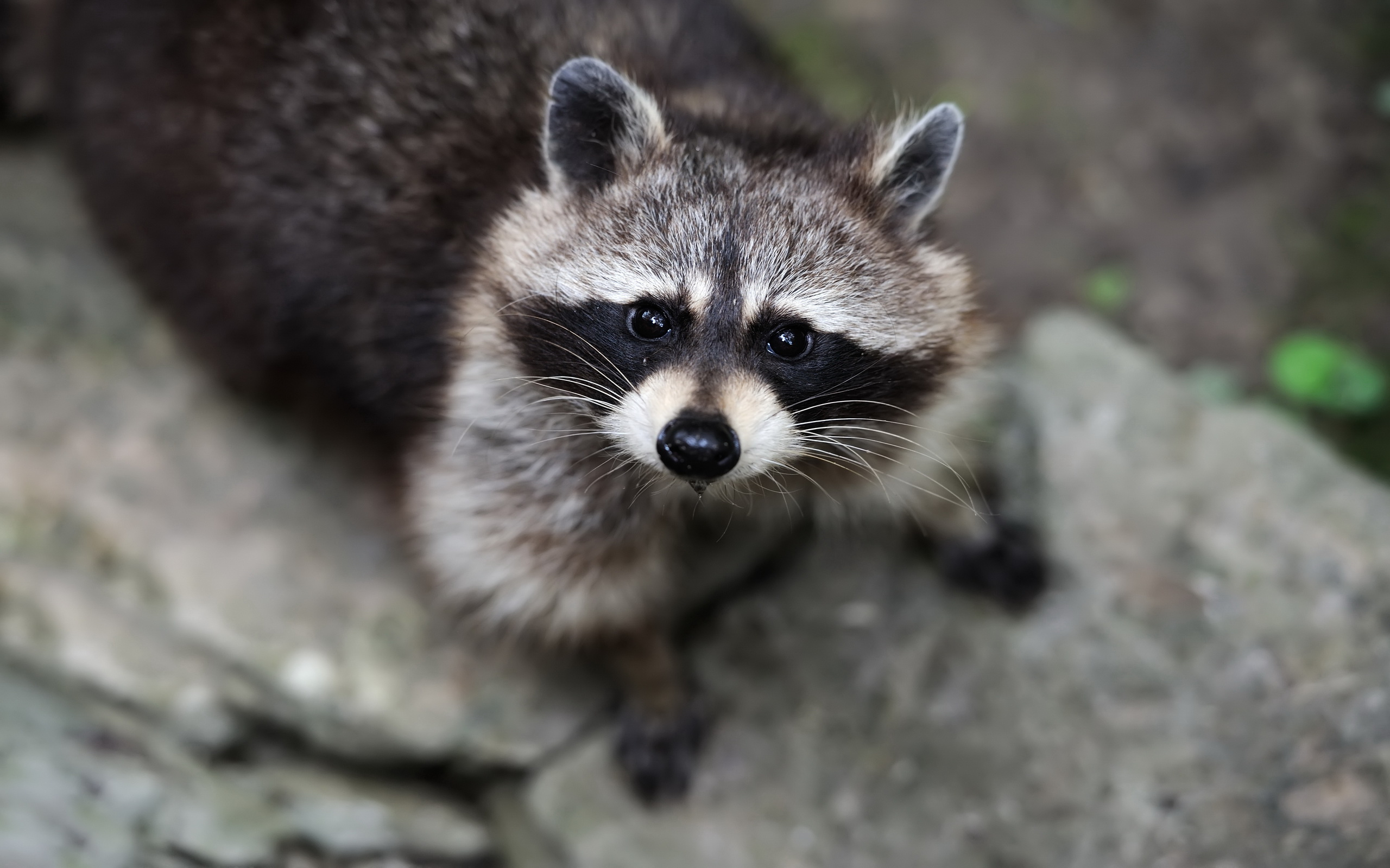 143 raccoon hd wallpapers | backgrounds - wallpaper abyss
