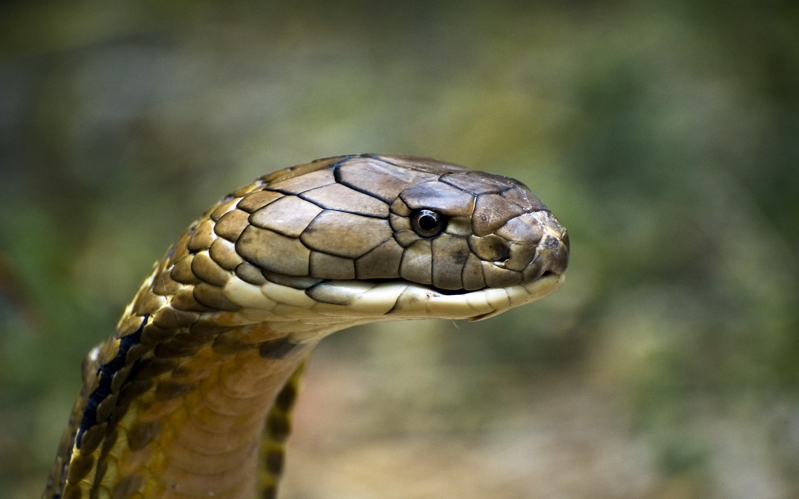 King Cobra Full HD Wallpaper and Background | 2560x1600 ...