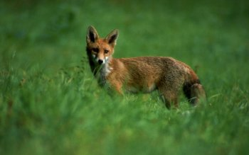 Animal - Fox Wallpapers and Backgrounds ID : 59993