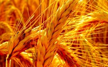Earth - Wheat Wallpapers and Backgrounds ID : 64113