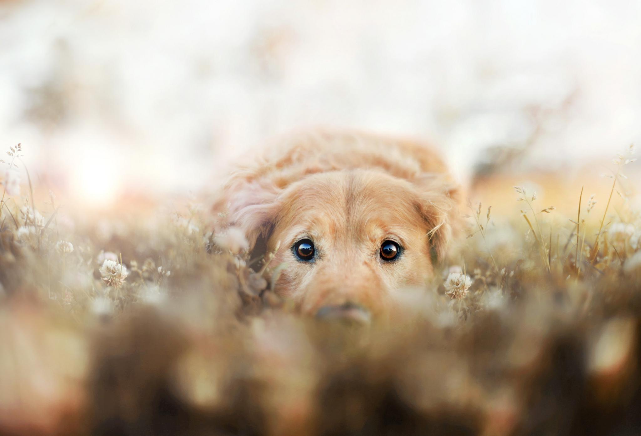 Golden retriever full hd wallpaper and background image - Cute golden retriever wallpaper ...