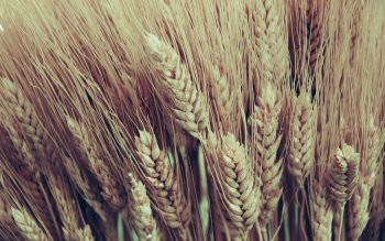 Earth - Wheat Wallpapers and Backgrounds ID : 65293