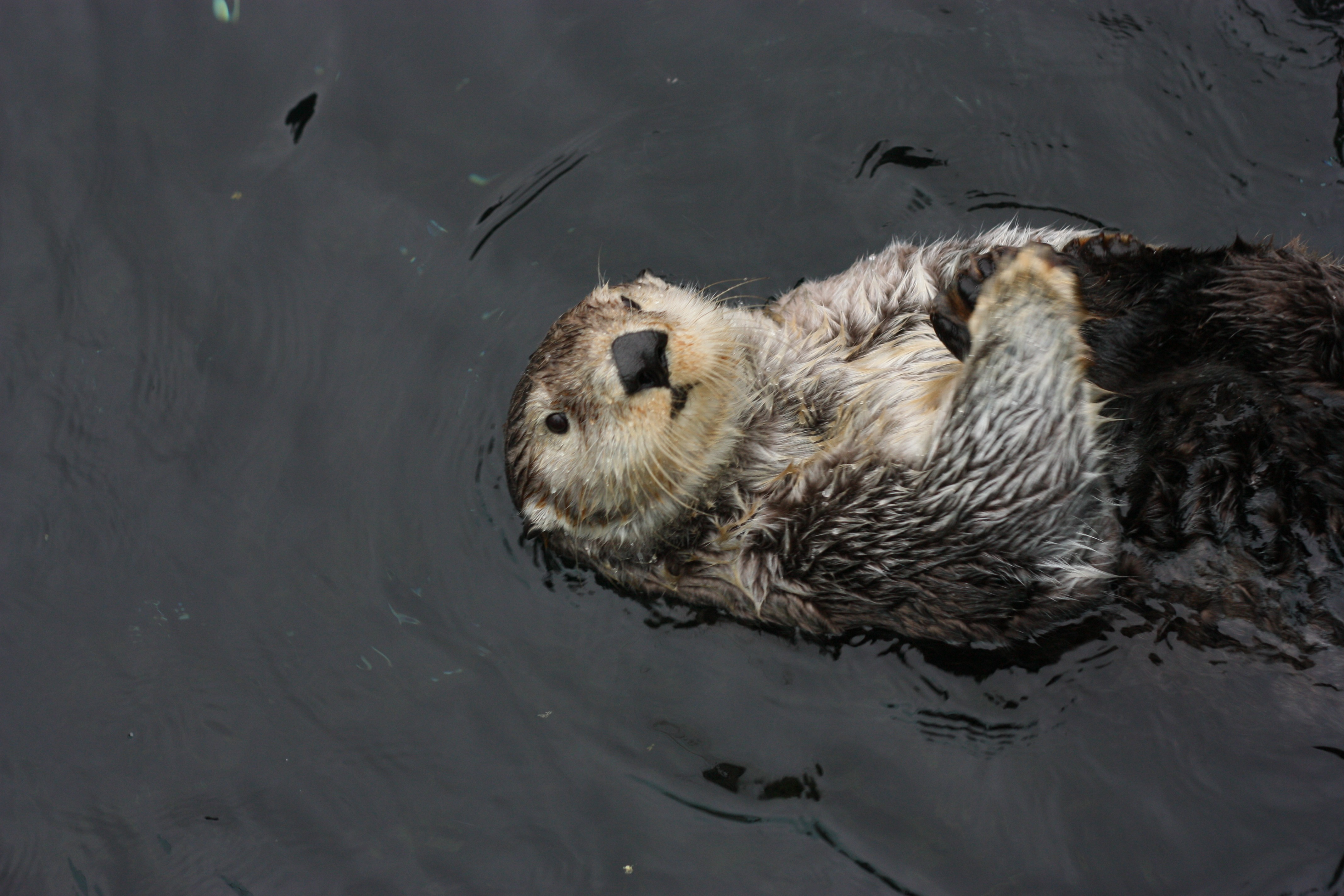 Sea Otter 4k Ultra HD Wallpaper | Background Image | 4272x2848 | ID:656662 - Wallpaper Abyss