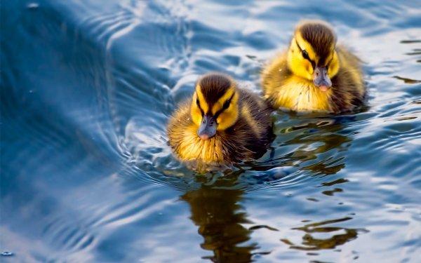 Animal Duck Birds Ducks Duckling Bird HD Wallpaper   Background Image