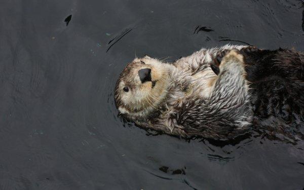 Animal Sea Otter HD Wallpaper   Background Image