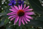 Preview Echinacea