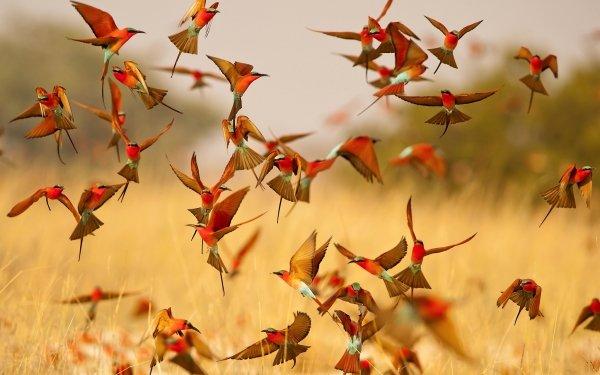 Animal Bee-eater Birds Bee-Eaters Bird HD Wallpaper | Background Image