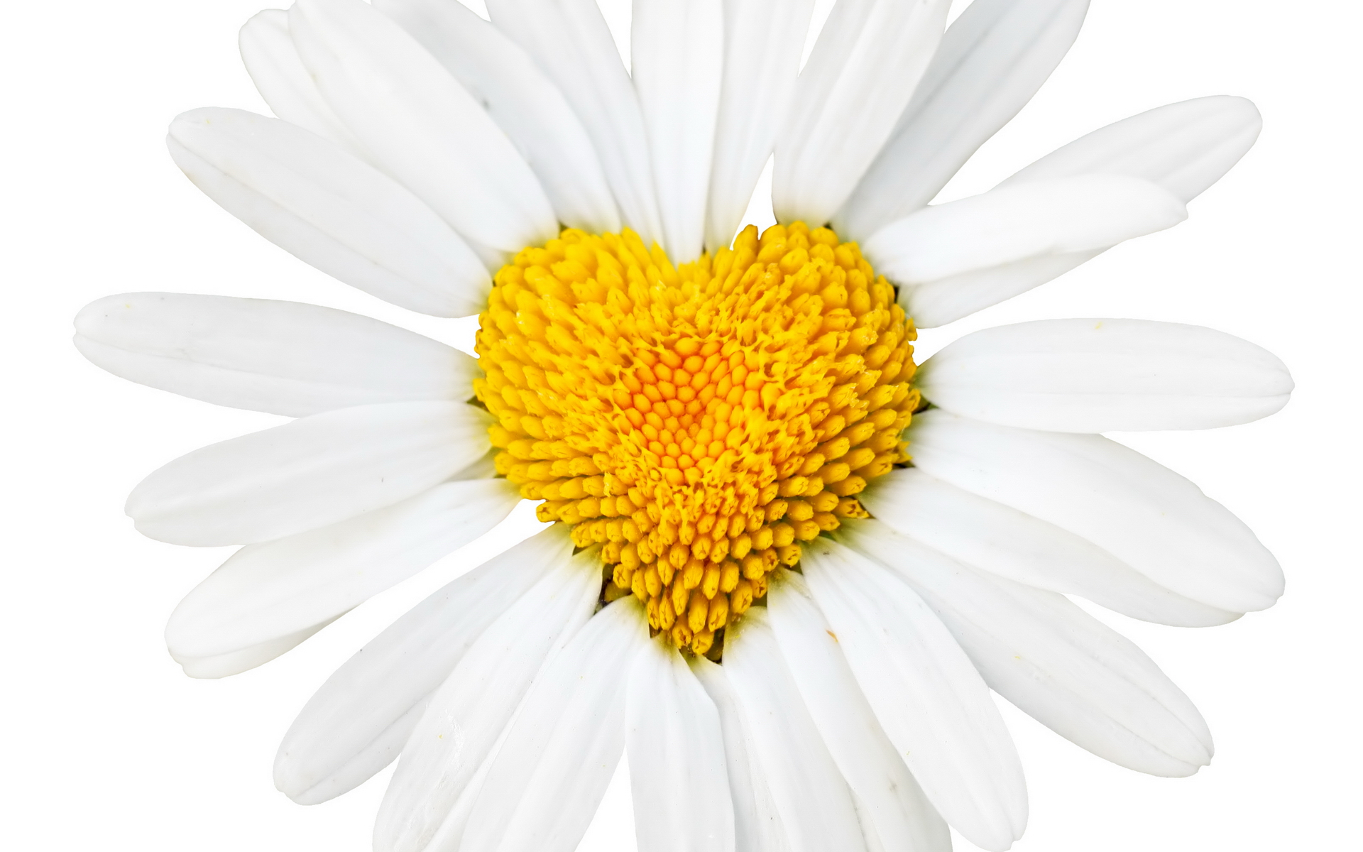 Daisy With Heart Middle Hd Wallpaper Background Image 1920x1200