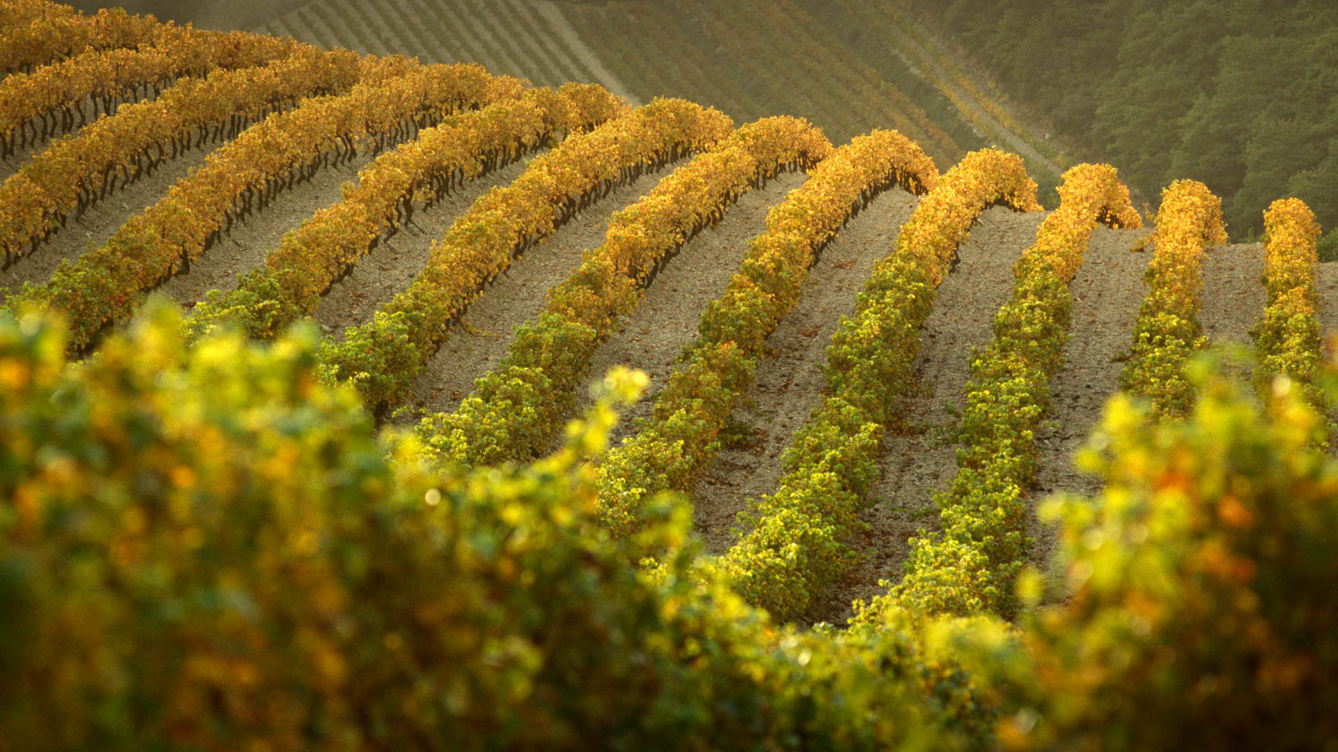 vineyard full hd wallpaper and background image