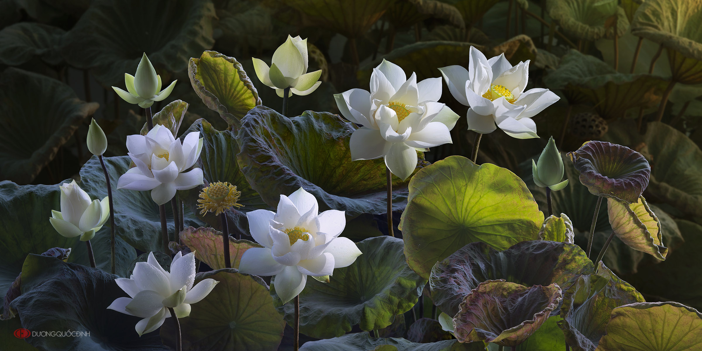 White Lotus Flowers Hd Wallpaper Background Image 2400x1200 Id
