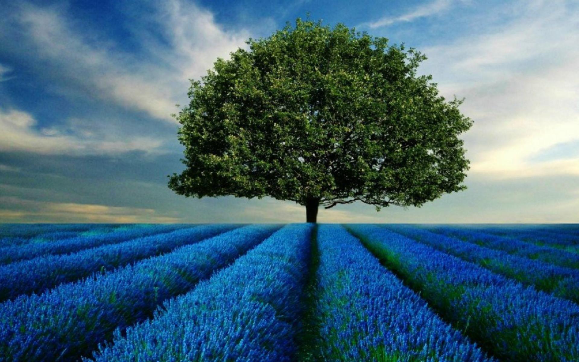 lavender field hd desktop - photo #33