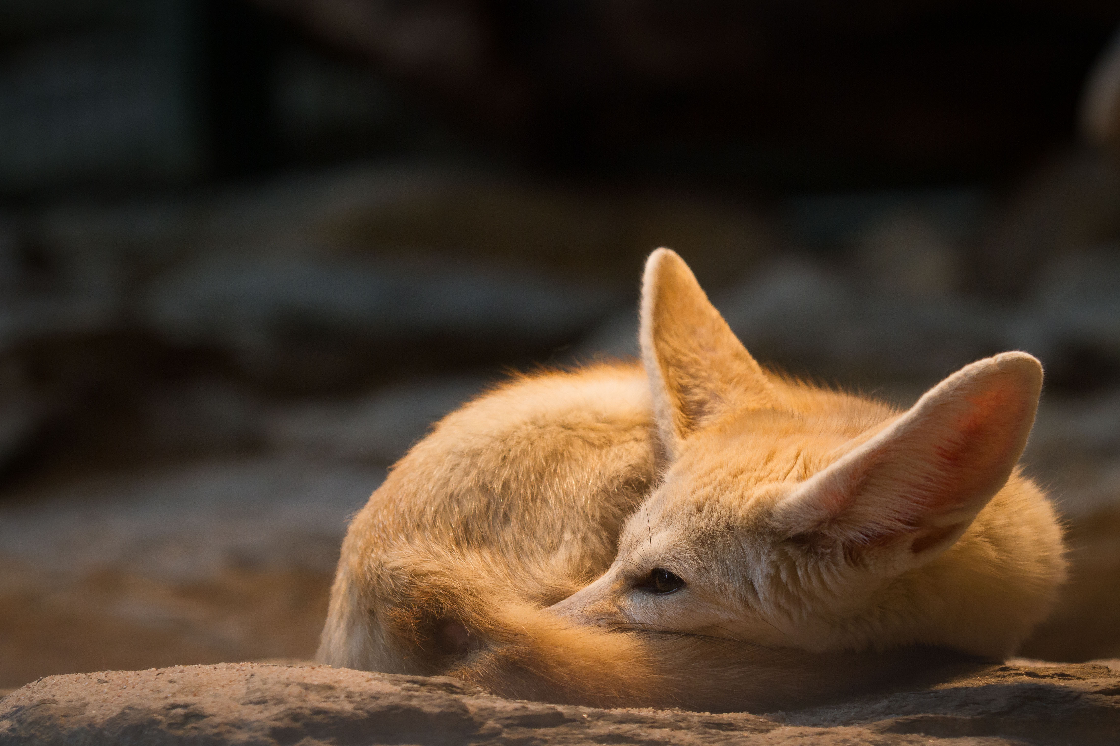 Fennec Fox Wallpapers - First HD Wallpapers