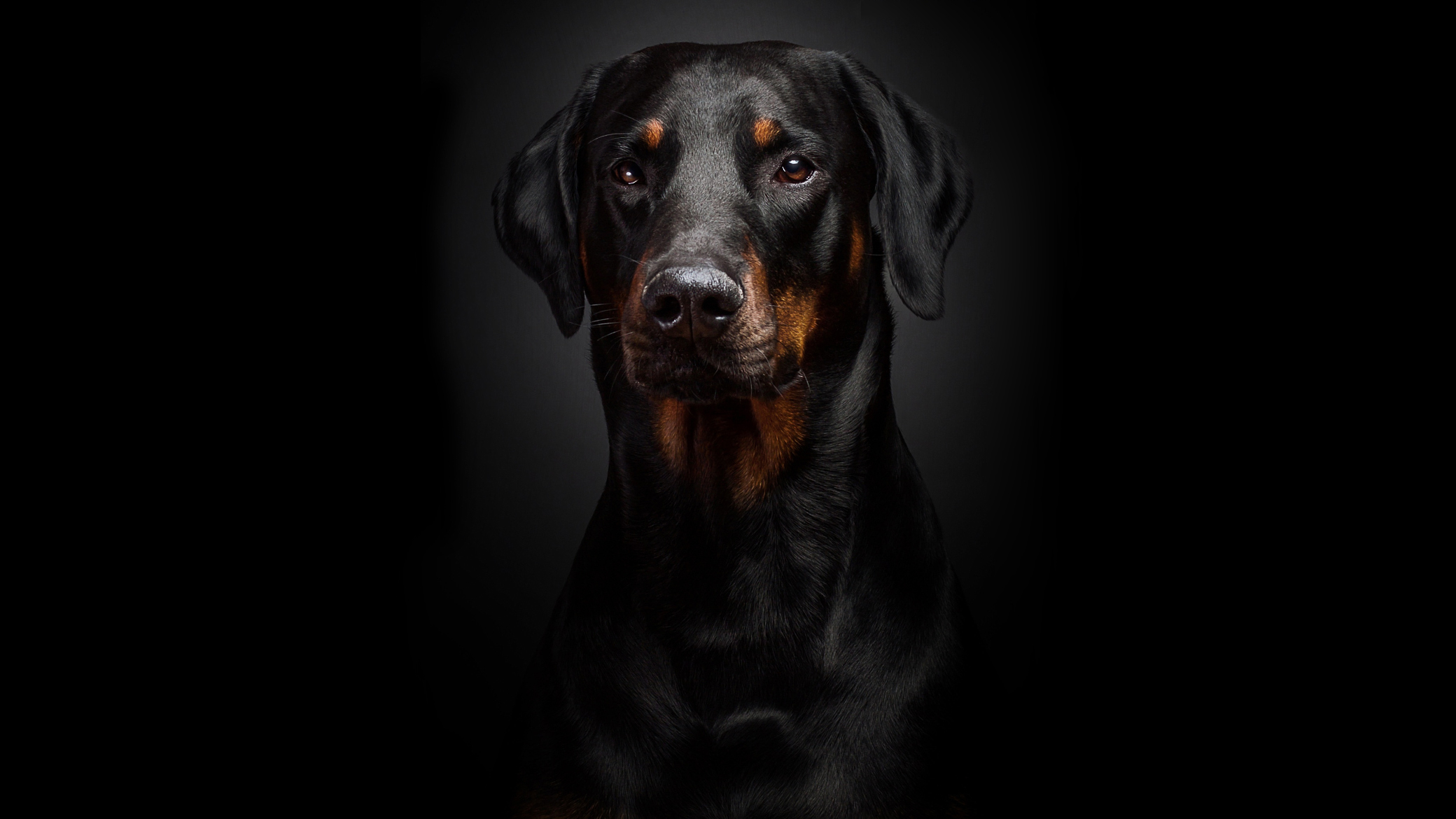 Rottweiler Full HD Wallpaper And Background Image