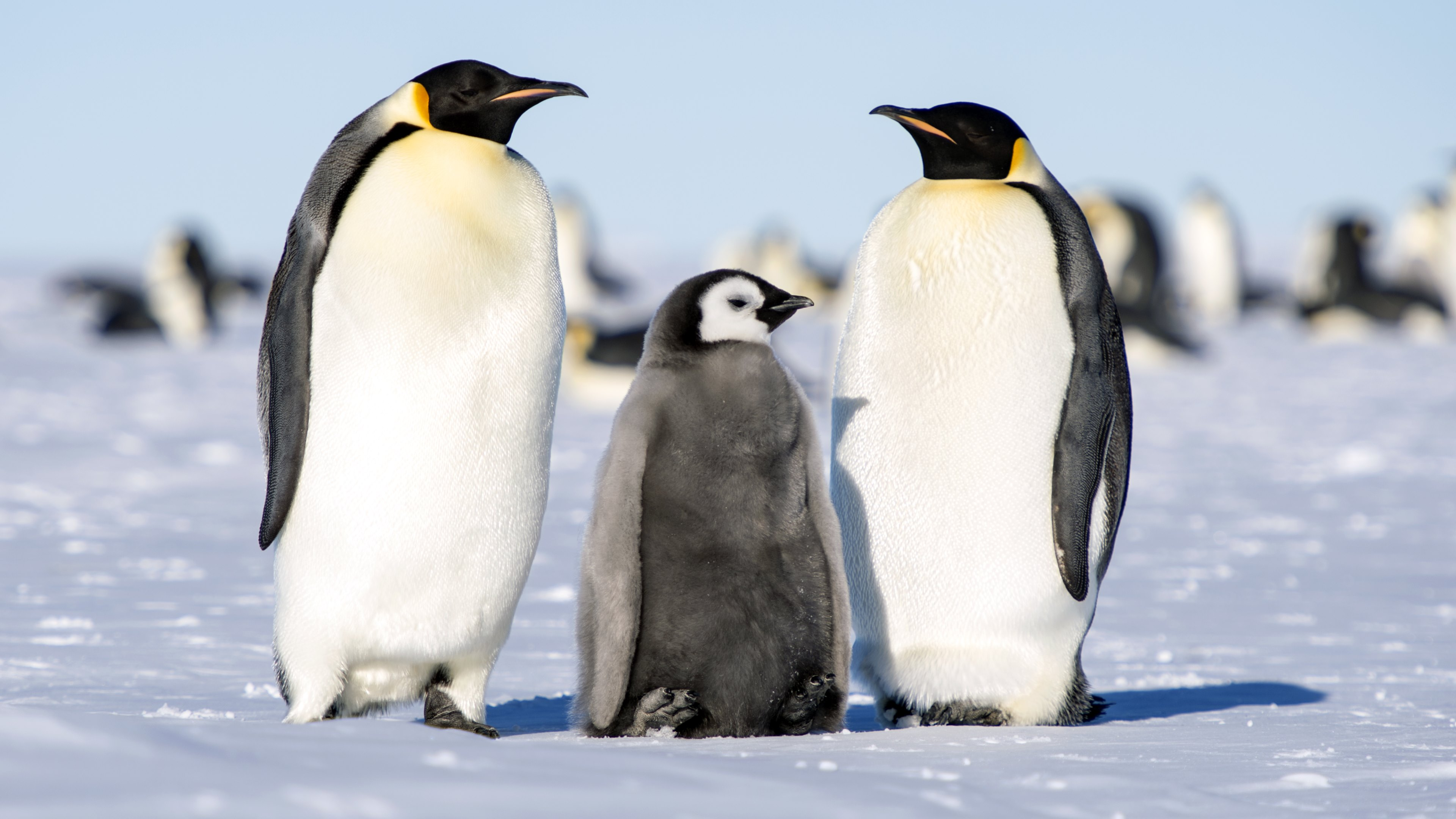 Cute Baby Penguins Wallpaper