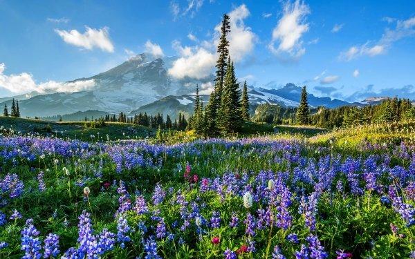 Earth Mount Rainier Mountains Mountain Flower Field Lupine Purple Flower HD Wallpaper | Background Image