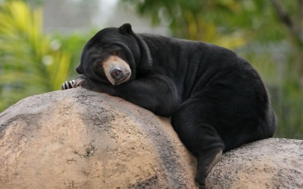 Animal Sun Bear Bears Bear Resting Rock Close-Up HD Wallpaper   Background Image