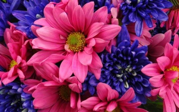 Earth Flower Flowers Dahlia Daisy Close-Up Blue Flower Pink Flower HD Wallpaper | Background Image