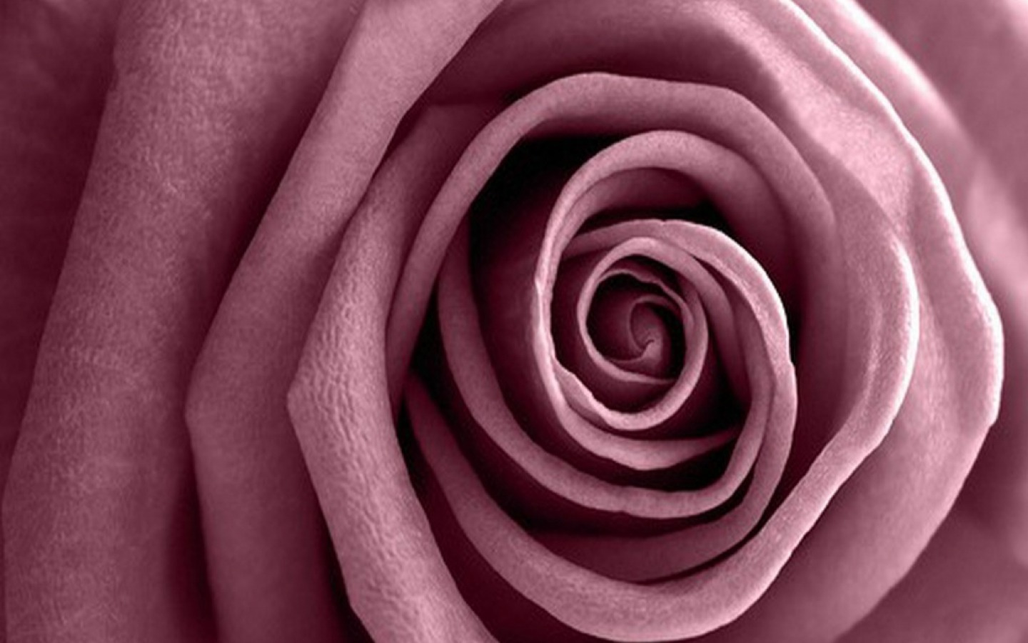 mauve colored rose wallpaper and background image