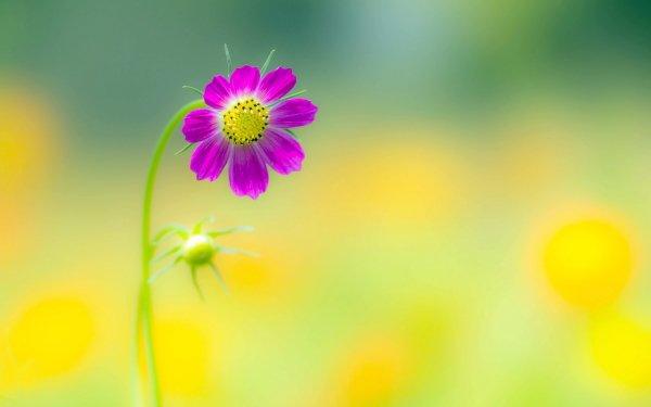 Earth Cosmos Flowers Flower Macro Pink Flower Blur HD Wallpaper   Background Image